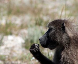 Cape Point Chacma Baboon