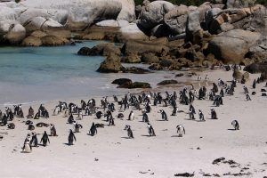 African Penguins Cape Town